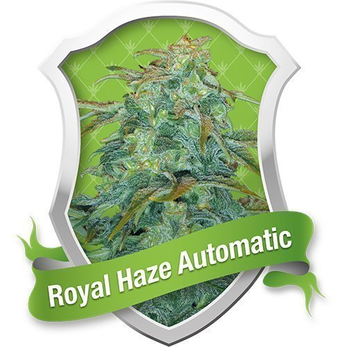 Royal Queen Seeds Royal Haze Automatic Feminised Seeds