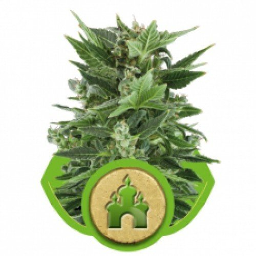 Royal Queen Seeds Royal Kush Automatic Feminised Seeds