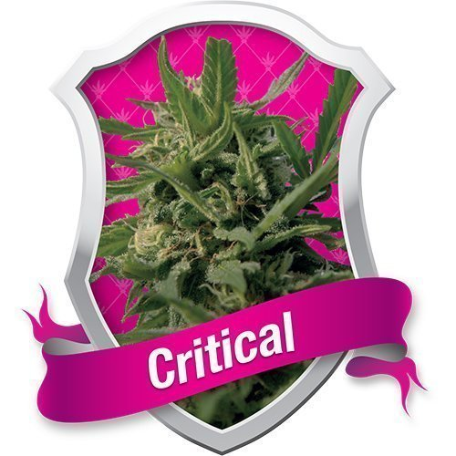 Royal Queen Seeds Critical Feminised Seeds