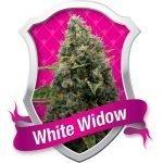 Royal White Widow Feminised Seeds