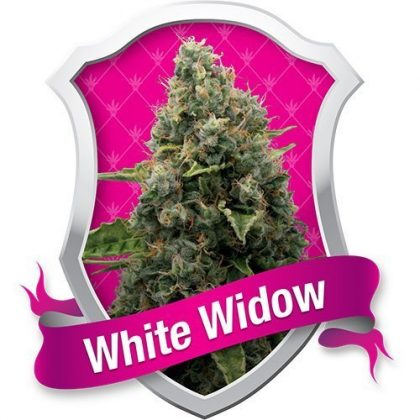Royal Queen Seeds White Widow Feminised Seeds
