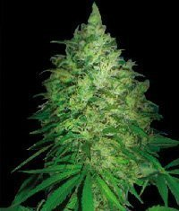 World of Seeds S. African Kwazulu regular Seeds