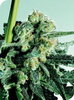 Sensi Seeds Sensi Skunk Feminised Seeds