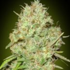 Advanced Seeds Shark Widow Feminised seeds