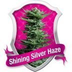 Royal Queen Seeds Shining Silver Haze Feminised Seeds