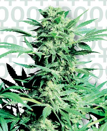 Sensi Seeds Shiva Skunk Feminised Seeds