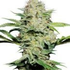 Sensi Seeds Sensi Skunk AUTO Feminised Seeds