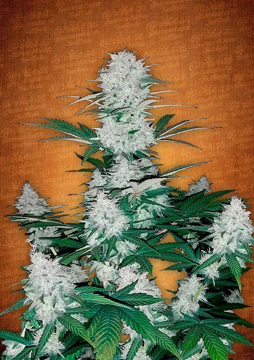Fast Buds Six Shooter feminised seeds