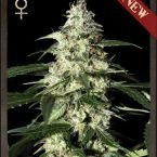 Strain Hunters Skunk AUTO Feminised Seeds