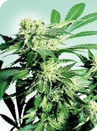 Sensi Seeds Skunk Kush Feminised Seeds