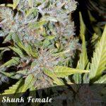 Skunk female seeds