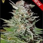 Greenhouse Seed Co. Super Lemon Haze AUTO Feminised Seeds