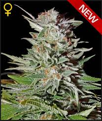 Greenhouse Seed Co. Super Lemon Haze AUTO Feminised Seeds