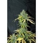Seedsman Auto Amnesia Feminised Seeds