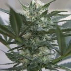 Seedsman Auto Kush Feminised Seeds