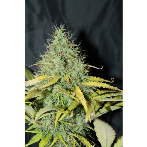 Seedsman Auto Skunk #1 Feminised Seeds