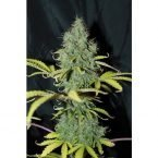 Seedsman Auto Sweet Tooth Feminised Seeds