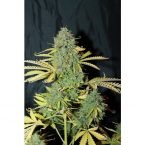 Seedsman Auto White Widow Feminised Seeds