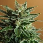 Nirvana Seeds Snow White Regular Seeds