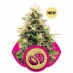Royal Queen Seeds Somango XL Feminised Seeds