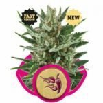 Speedy Chile FAST VERSION Feminised Seeds