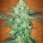 Fast Buds Stardawg feminised seeds