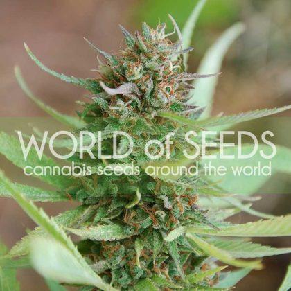 World of Seeds Strawberry Blue Feminised Seeds