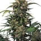Dutch Passion Strawberry Cough Feminised Seeds
