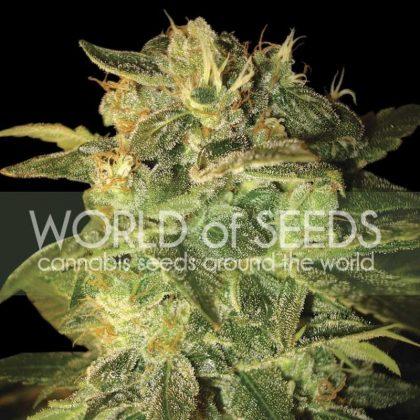 World of Seeds Sugar Mango Ryder Autoflowering Feminised Seeds