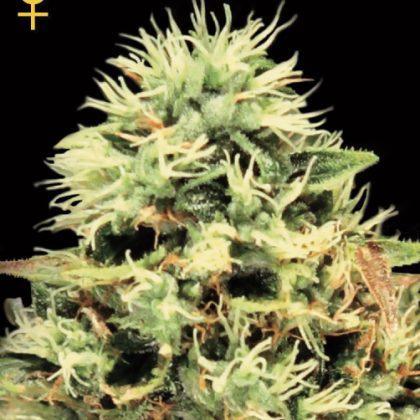 Greenhouse Seed Co. Super Bud Feminised Seeds