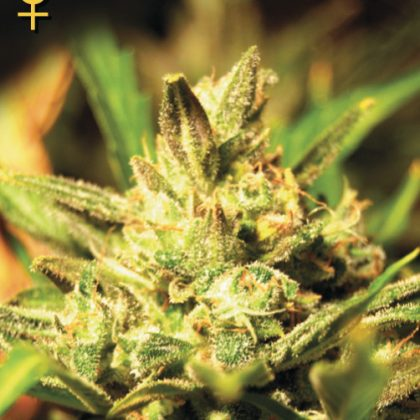 Greenhouse Seed Co. Super Critical AUTO Feminised Seeds