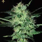 Greenhouse Seed Co. Super Critical Feminised Seeds