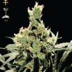 Greenhouse Seed Co. Super Lemon Haze Feminised Seeds
