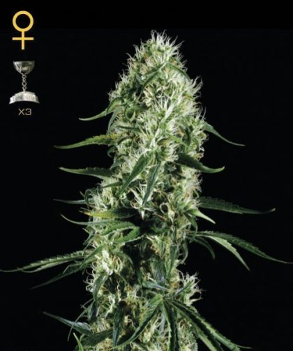 Greenhouse Seed Co. Super Silver Haze Feminised Seeds