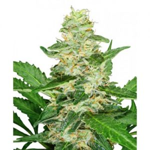 Sensi Seeds Super Skunk AUTO Feminised Seeds