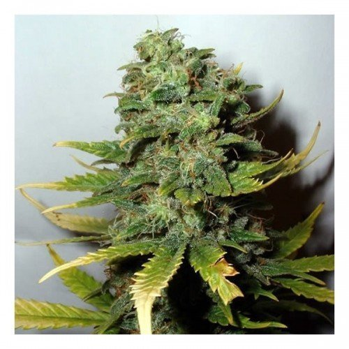 Sensi Seeds Super Skunk Feminised Seeds