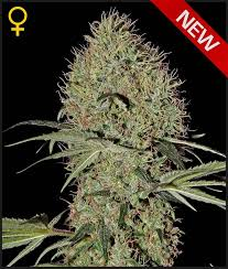 Greenhouse Seed Co. Super Bud AUTO Feminised Seeds