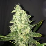 Supreme CBD Kush Feminised Seeds
