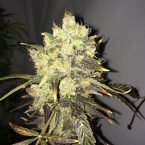Nirvana Seeds Supreme CBD Durban Feminised Seeds