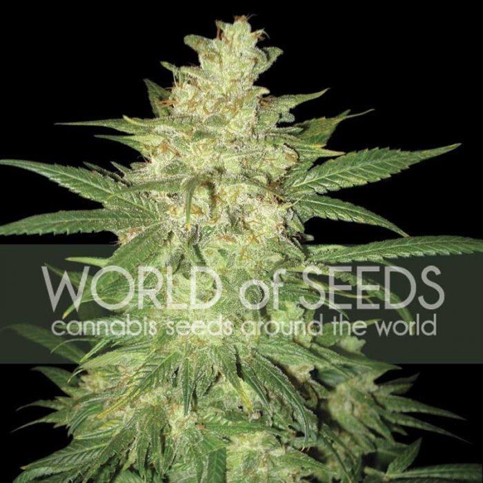 World of Seeds Sweet Coffee Ryder Autoflowering Feminised Seeds