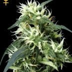 Greenhouse Seed Co. Sweet Mango AUTO Feminised Seeds