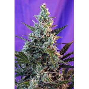 Sweet Seeds Sweet Skunk Auto Feminised Seeds