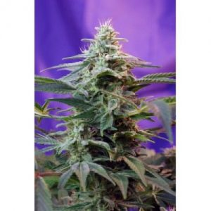 Sweet Seeds Sweet Special Auto Feminised Seeds
