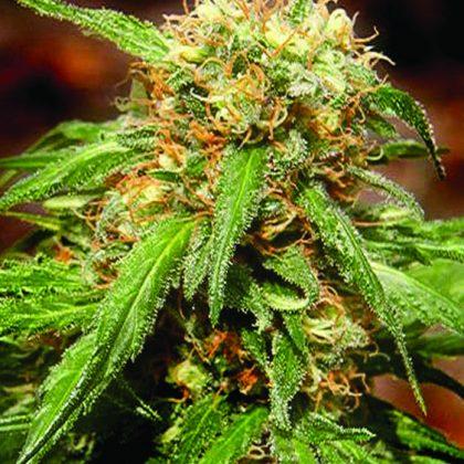 Sweet Seeds Sweet Tai Feminised Seeds