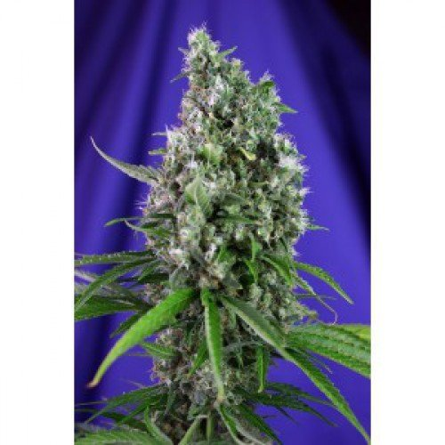 Sweet Seeds Sweet Trainwreck Auto Feminised Seeds