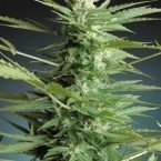Advanced Seeds Auto Sweet Dwarf Feminised seeds