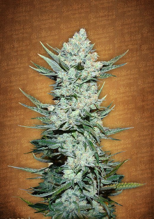 Fast Buds Tangie'matic feminised seeds