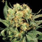 Greenhouse Seed Co. The Church Feminised Seeds