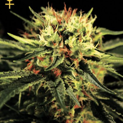 Greenhouse Seed Co. The Doctor Feminised Seeds