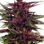 Dutch Passion Twilight Feminised Seeds